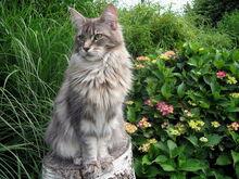 Maine coon katzen zucht 3