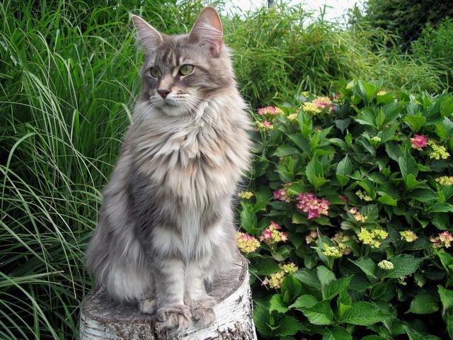 File:Maine coon katzen zucht 3.jpg