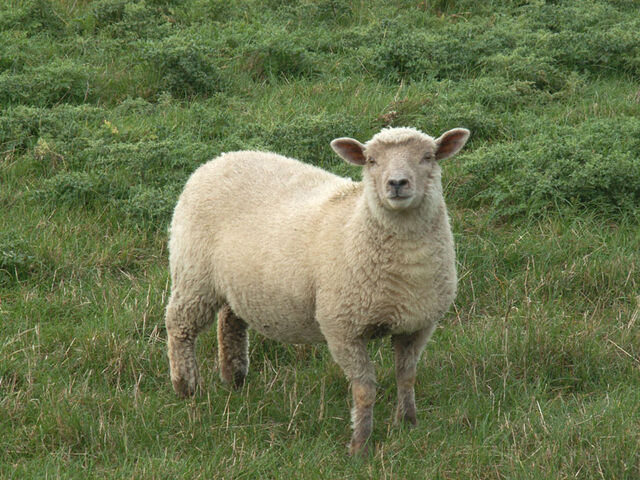 File:Sheep0007.jpg