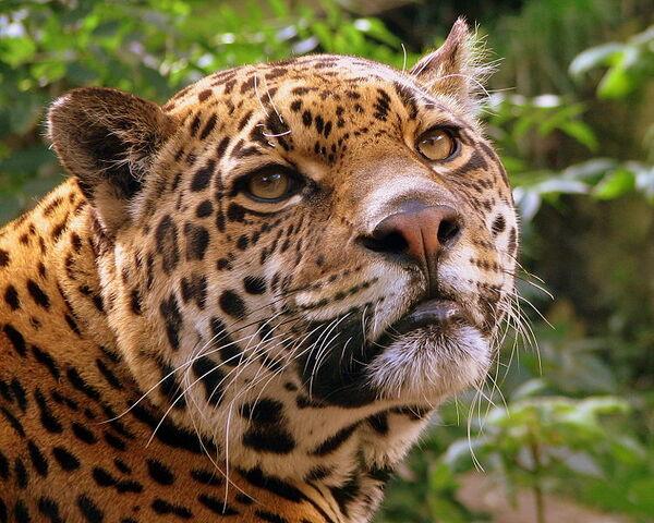 File:750px-Jaguar at Edinburgh Zoo.jpg