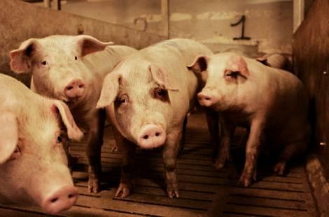 File:Danish farming - pig farm.jpg