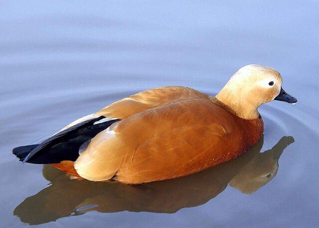 File:Ruddy.shelduck.arp.2.750pix.jpg