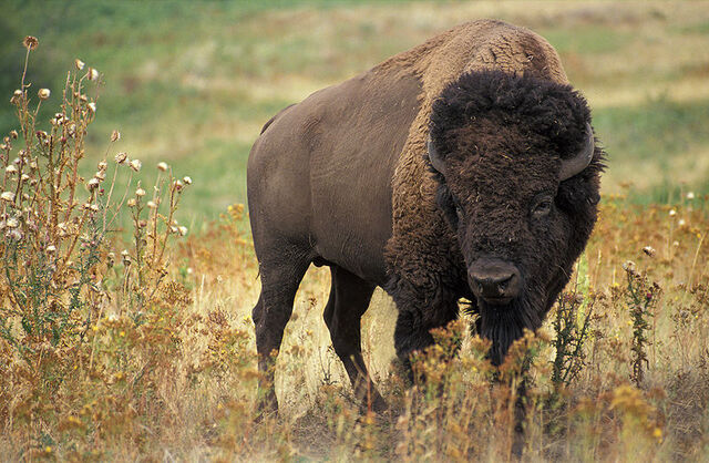 File:800px-American bison k5680-1.jpg
