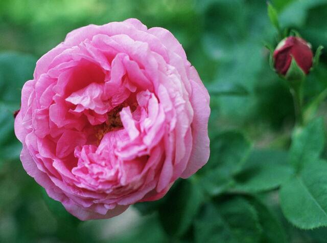 File:Rosa.jpg