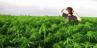 California Marijuana Boom (Pandora's box)
