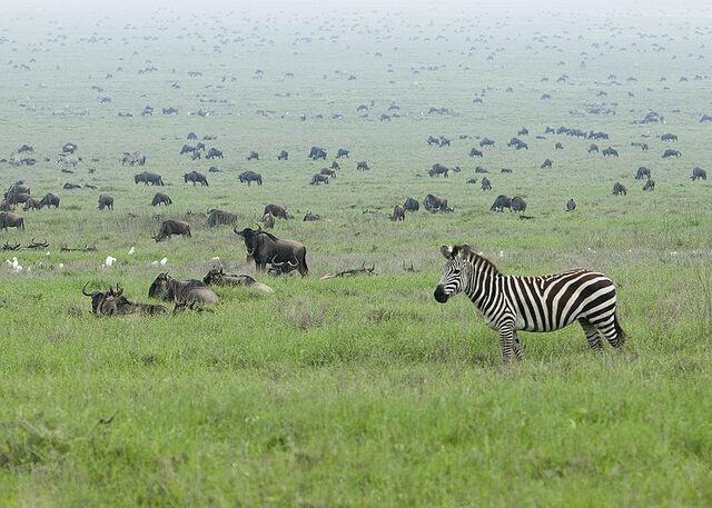 File:800px-Zebra in the Serengeti Wildebeest Migration.jpg