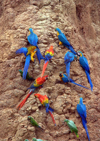 File:427px-Parrots at a clay lick -Tambopata National Reserve, Peru-8c.jpg