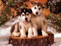 File:Huskey.jpg