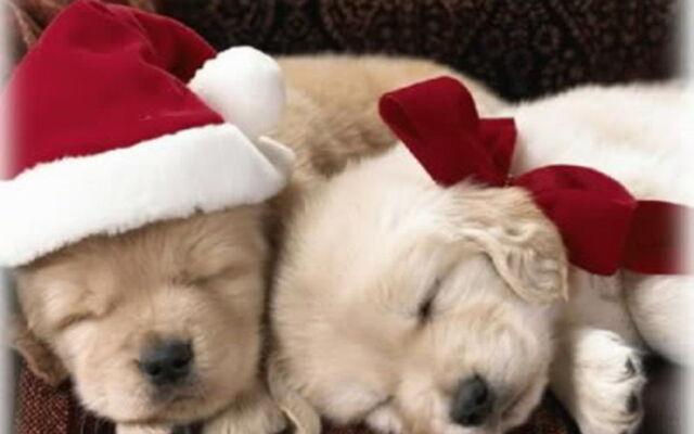 File:Christmas-Puppy-puppies-15897189-1280-800.jpg