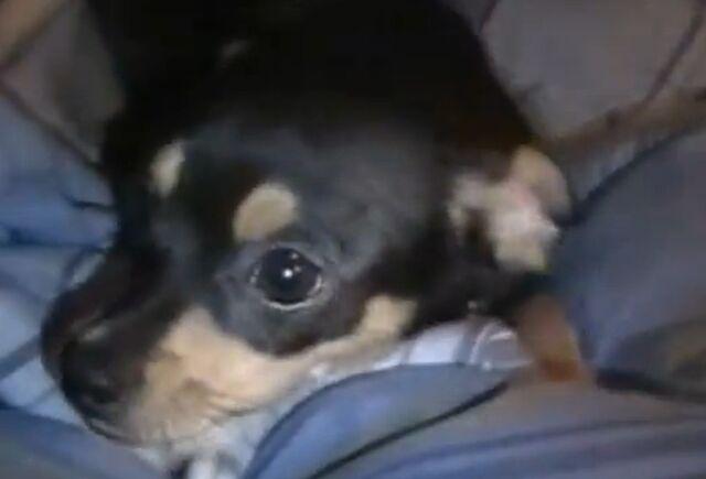 File:Chihuahua.jpg