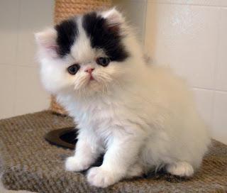 File:Persian-cats-05.jpg