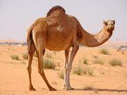 Images camel