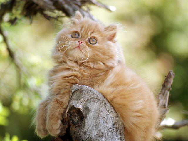 File:Cute-persian-cats-8.jpg