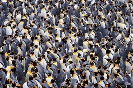 File:20130128160609penguins.jpg