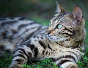 Bengal-cat-g