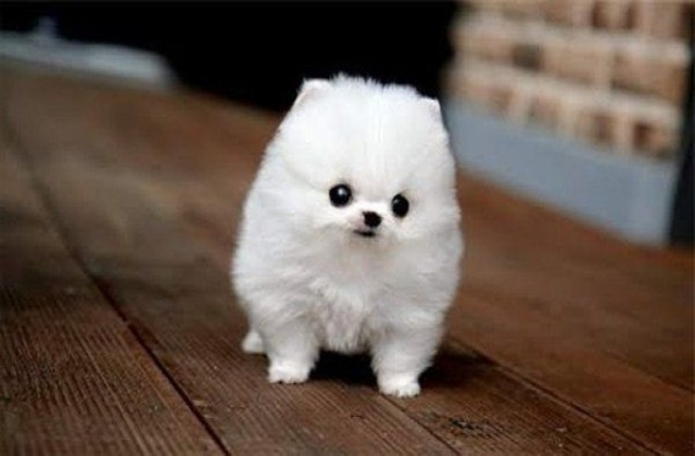 Small White Fluffy Puppy Breeds The