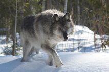 55 o Wolf Gray-Wolf.jpg