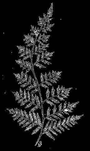 image line drawing fernpng animal jam clans wiki