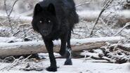 A-black wolf-997447