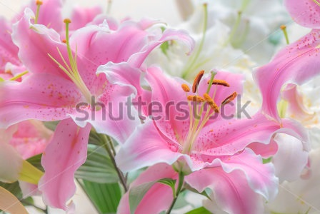 Stock-photo-beauty-pink-lilly-271323482