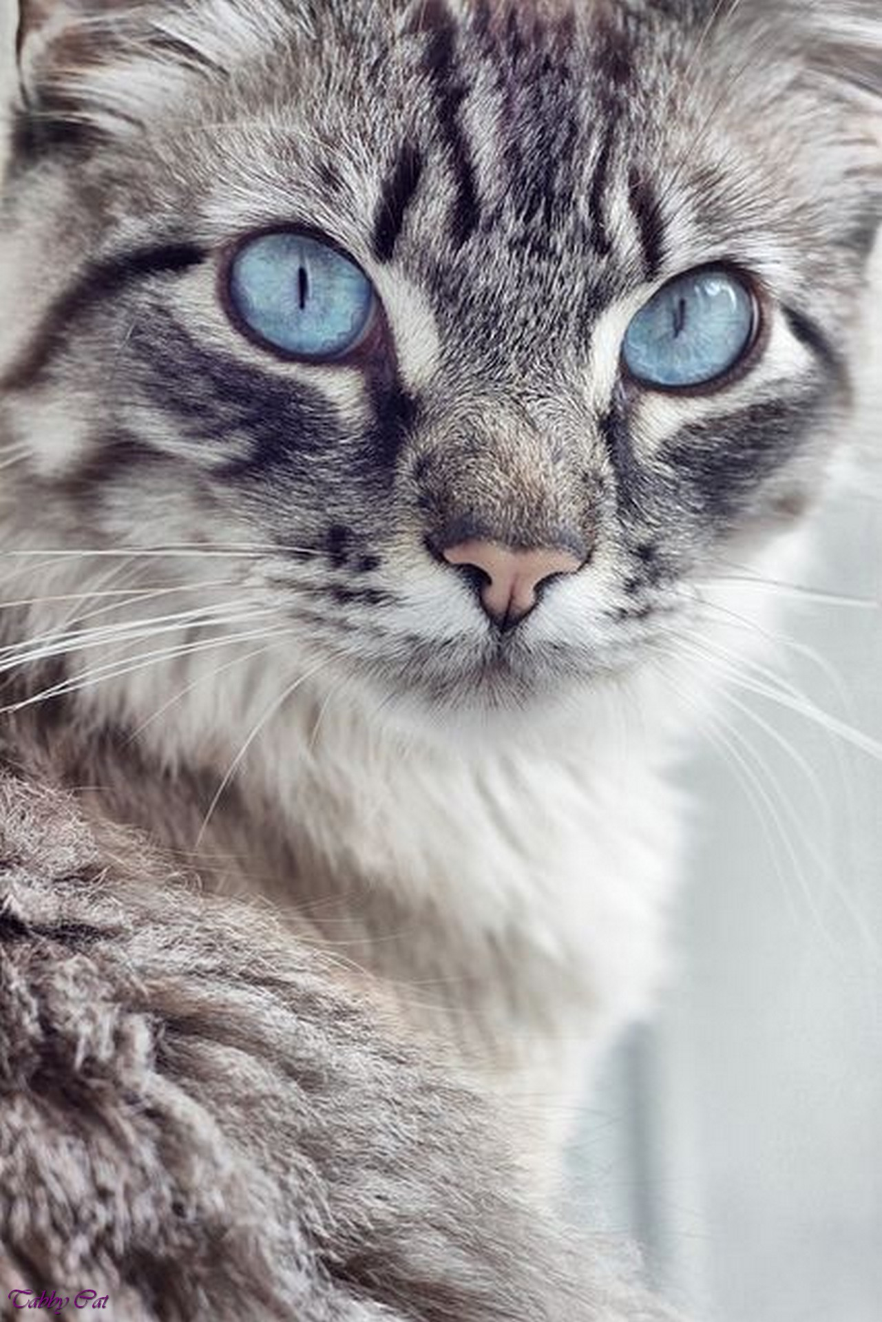 Image Grey tabby cat with blue eyes dark grey tabby cat black