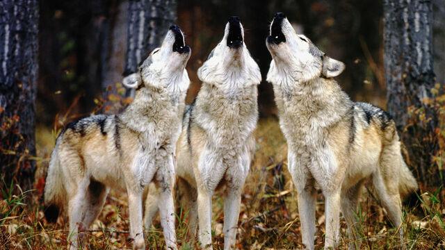 File:Predators-forest-wolves-howl-wolf-animals.jpg