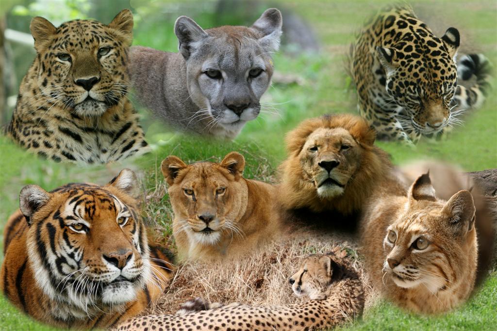 Image - Big cats (Large)adsdf.jpg | Animal Jam Clans Wiki | Fandom ...