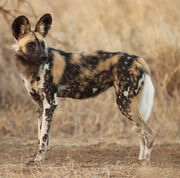 African Painted Dog - look ideas