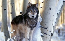 Desktop-hd-timber-wolf-pictures-free