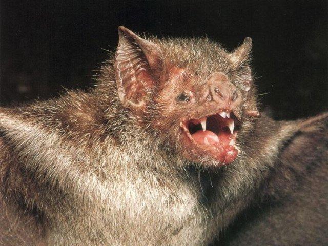 File:Bat-vampire 001.jpg