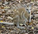 Northern Nail-tail Wallaby