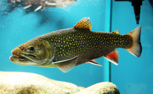 File:Real brook trout.jpg