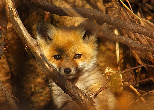 File:Fox cub.jpg
