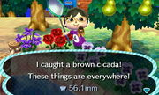 BrownCicadaNL