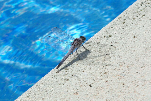 File:Insect- dragonfly.jpg