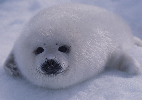 File:Harp seal pup on ice.jpg