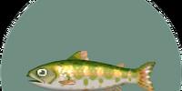 Cherry salmon