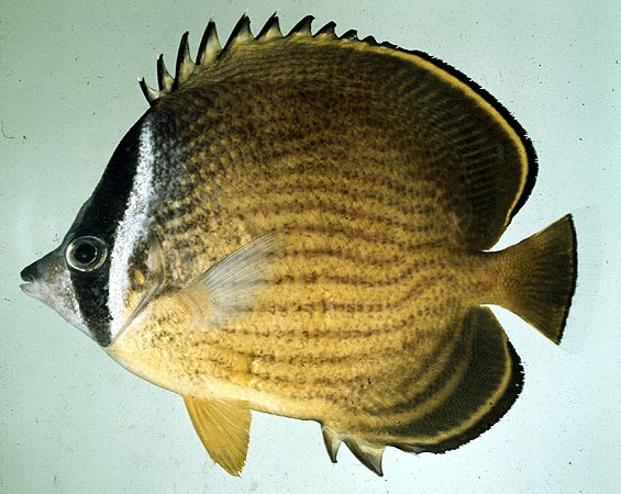 File:Chaetodon butterflyfish.jpg