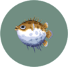 Puffer Fish (City Folk)