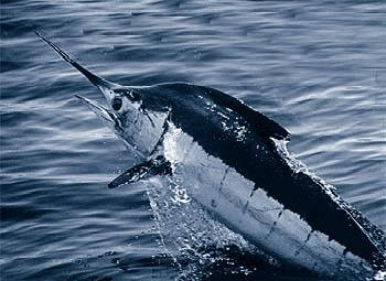 File:Atlantic blue marlin.jpg