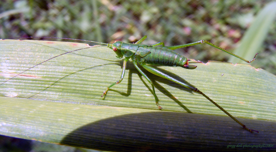 File:Long grasshopper.jpg