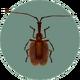 Violin Beetle (City Folk)