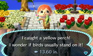 Yellow Perch Caught