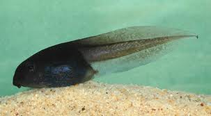 File:Real tadpole.png