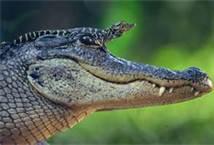 File:MotherAndBabyCrocodiles.jpg