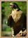 Coral Canyons Falcon