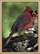 Coral Canyons Cardinal