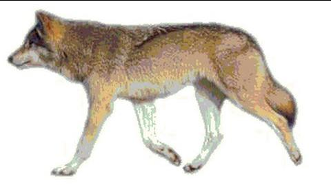 Incredibly Realistic Wolf Animation