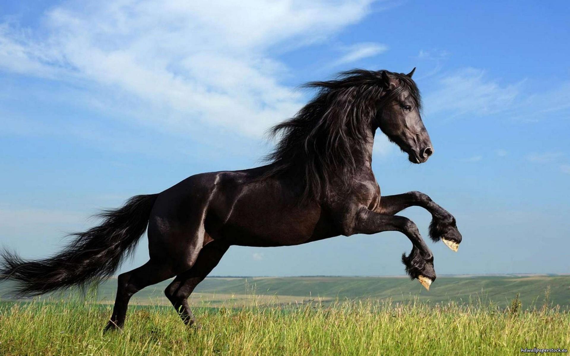 image - jumping-black-horse-hd-wallpapers-cool-desktop-background