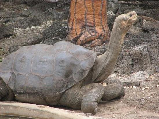 File:Pinta-island-tortoise.jpg